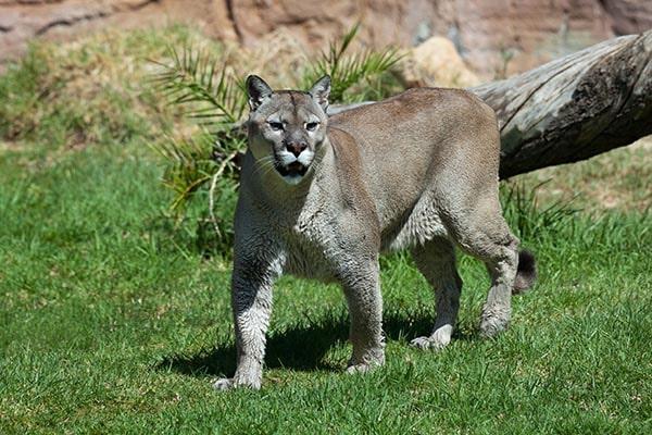Puma concolor: características, perigo de extinção, habitat 1