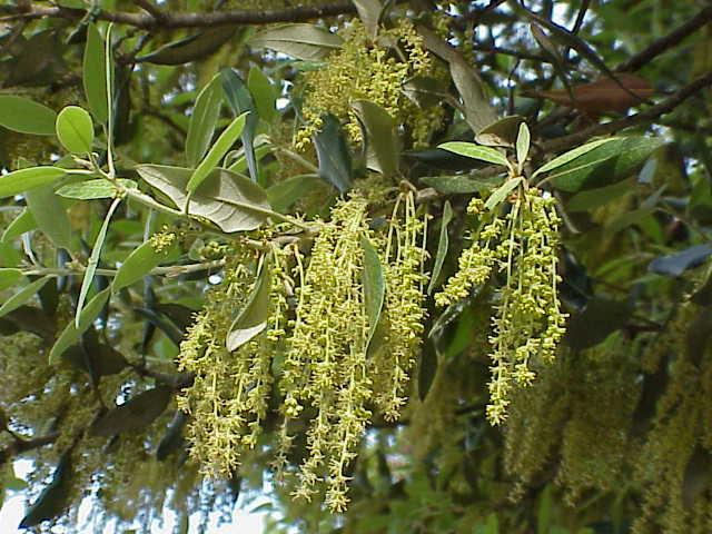 Encinos ou carvalhos (gênero Quercus): características, usos, espécies 8