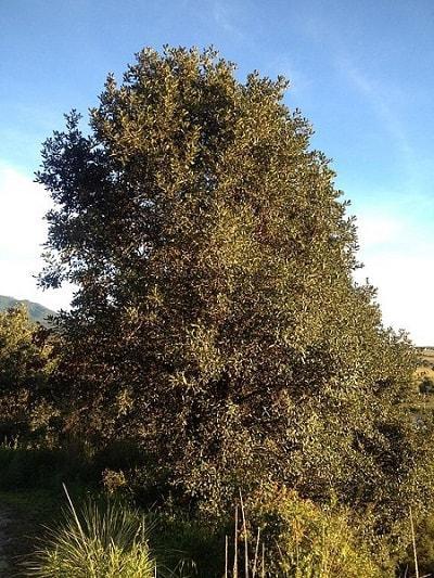 Quercus rugosa: características, habitat, reprodução e usos 4