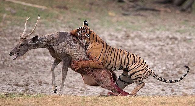 Tigre de Bengala: características, habitat, comida, comportamento 7