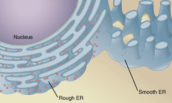 Retículo Endoplasmático Liso: Características e Funções 1
