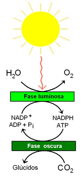 As 3 etapas da fotossíntese e suas características 2