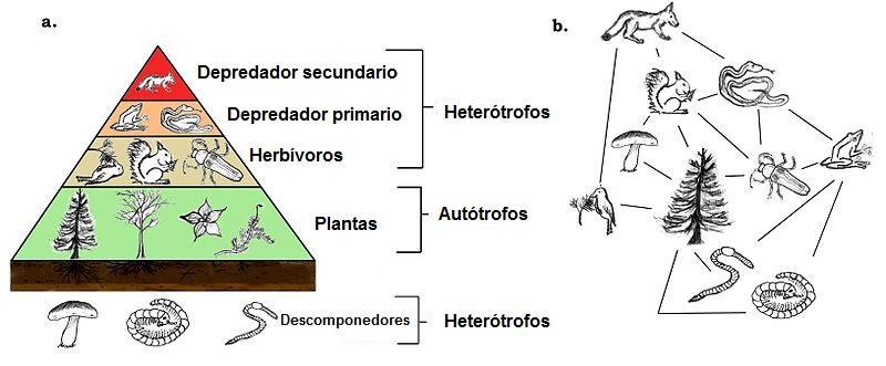 Cadeia alimentar: elementos, pirâmide trófica e exemplos 1