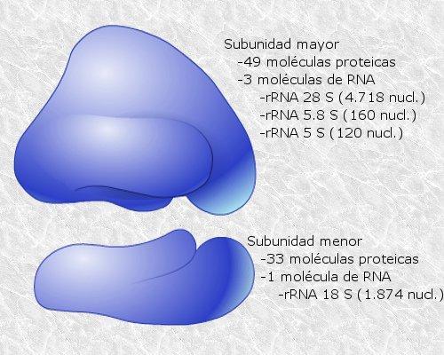 Organelas celulares em células animais e vegetais: características, funções 10