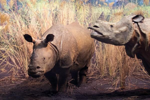 Java rhino: recursos, poder, reprodução 1