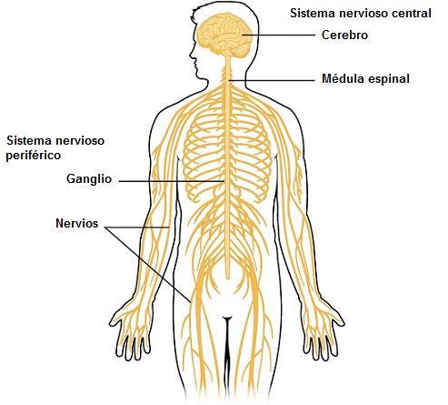 Sistema nervoso central: partes e funções (com imagens) 2