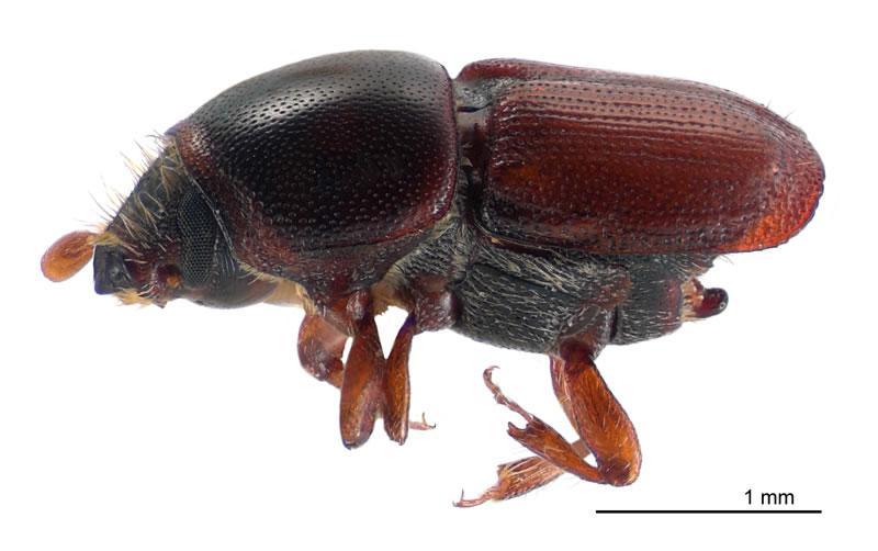 Besouros: características, alimentação, reprodução 6