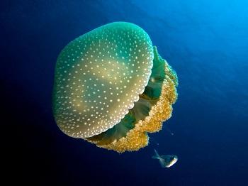 Sciphozoa: características, habitat, reprodução, alimento 3