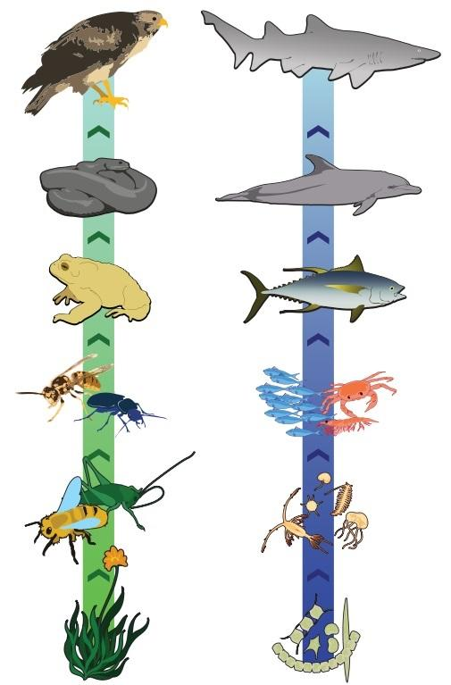 Cadeia alimentar: elementos, pirâmide trófica e exemplos 3