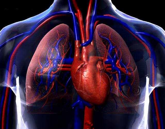 Sistema circulatório: funções, partes, tipos, doenças 1