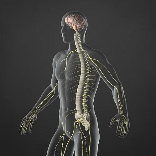 Sistema nervoso simpático: estrutura, funções 1