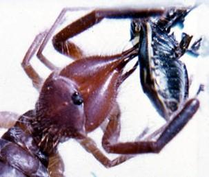 Aranhas de camelo: características, habitat, alimentos, espécies 4