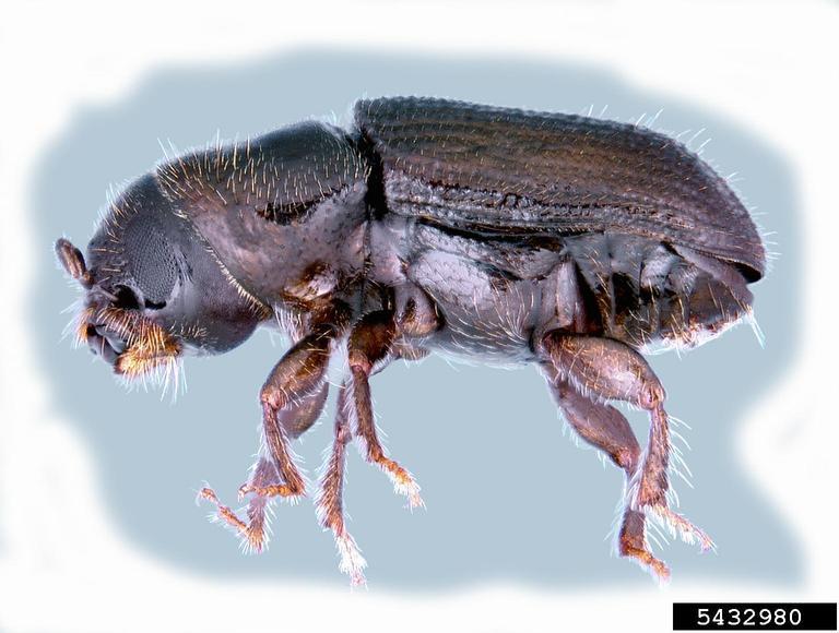 Pinus ayacahuite: características, habitat, cuidados, pragas, usos 5