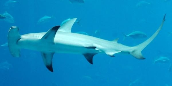 Tubarão-martelo: características, habitat, reprodução, alimento 1