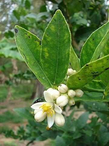 Citrus × aurantifolia: características, habitat, propriedades, cuidados 3