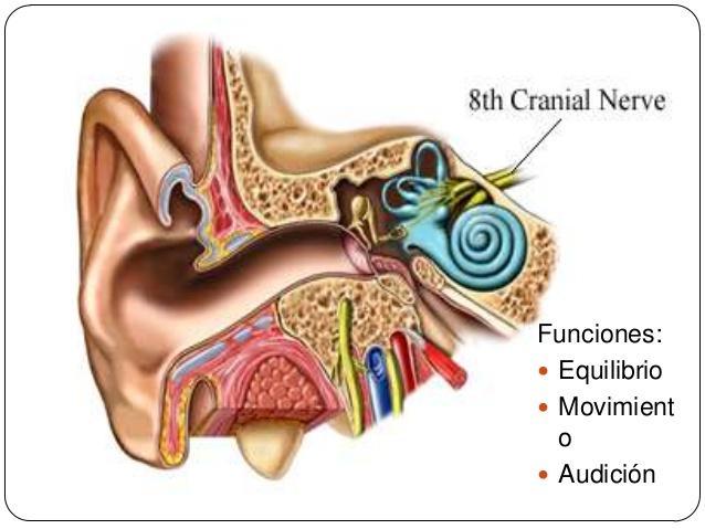 Nervos cranianos: origem real e aparente, funções, anatomia 8