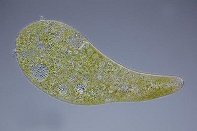 Stentor: características, taxonomia, morfologia, nutrição 1