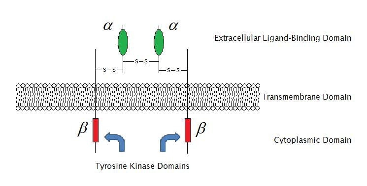 Receptores de membrana: funções, tipos, como eles funcionam 3