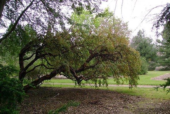 Tabaquillo: características, taxonomia, habitat, usos 1