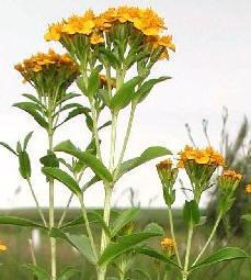 As 50 plantas medicinais mais comuns e seus usos 10