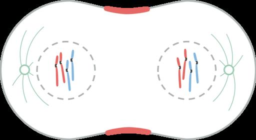 Divisão celular: tipos, processos e importância 7