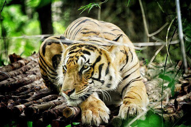 Tigre de Bengala: características, habitat, comida, comportamento 2