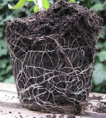 Ácido indoacético: estrutura, propriedades, obtenção, usos 4