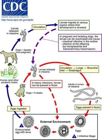 Toxocara canis: características, morfologia, sintomas de infecção 3