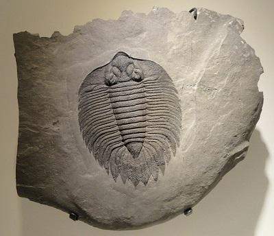 Trilobitas: características, habitat, reprodução, alimentação 3