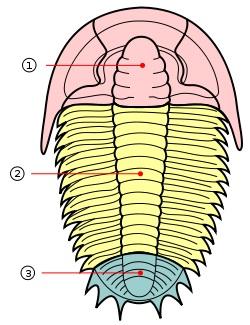 Trilobitas: características, habitat, reprodução, alimentação 2