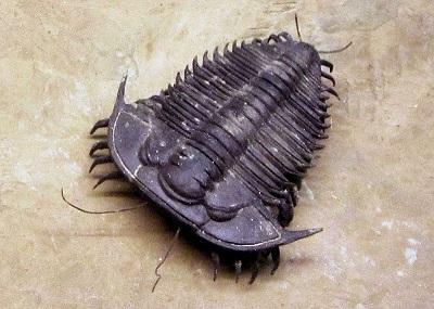 Trilobitas: características, habitat, reprodução, alimentação 1