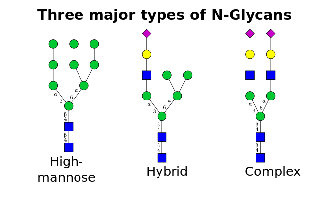 Glicosilação de proteínas: tipos, processos e funções 1