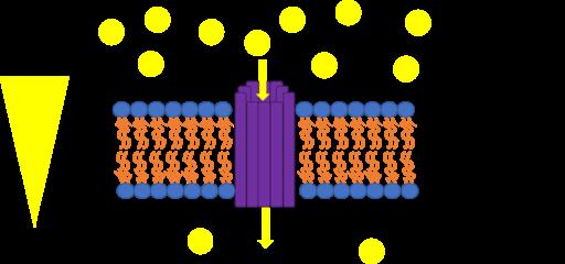 Uniporte: transporte através de membranas, características 1