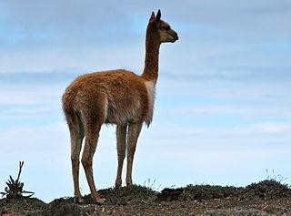 20 Animais da Cordilheira dos Andes 4
