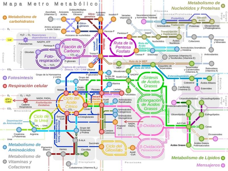 Rotas metabólicas: tipos e rotas principais 1
