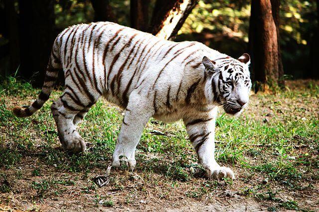Tigre de Bengala: características, habitat, comida, comportamento 3