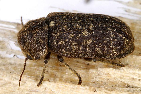 Besouros: características, alimentação, reprodução 2