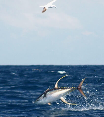 Atum albacora: características, habitat, alimentação 3