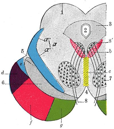 Aqueduto Silvio: características, funções e lesões 1