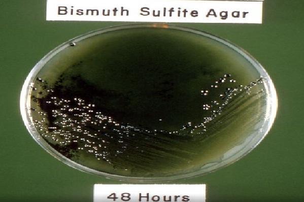 Ágar de bismuto sulfito: fundação, preparação e usos 1
