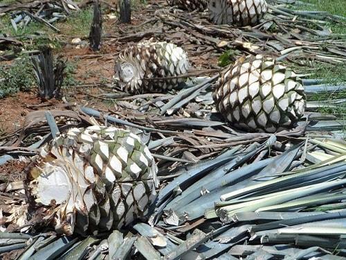 Tequilana de agave: características, habitat, usos, cultivo 4