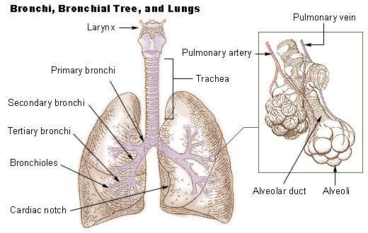 Alvéolos Pulmonares: Características, Funções, Anatomia 2