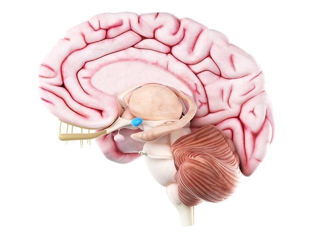 Telencéfalo: características, partes e funções 6