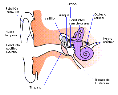 Sentido da audição: para que serve, partes, como funciona 2