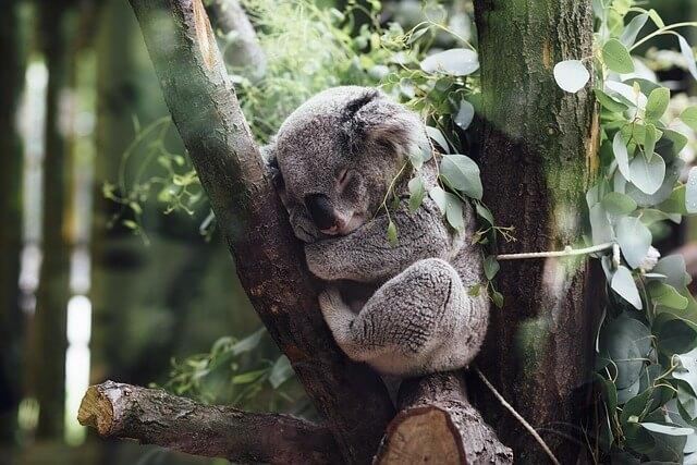 Coala: características, habitat, reprodução, comida 6