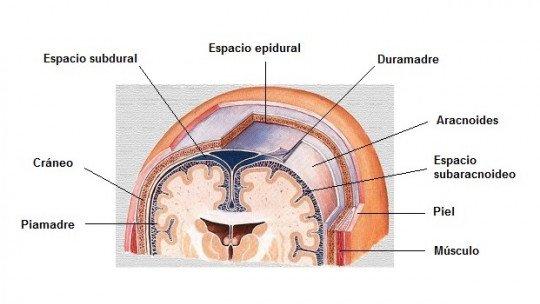 Aracnóides (cérebro): anatomia, funções e distúrbios associados 1