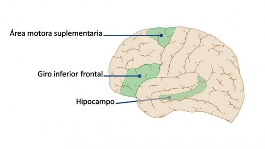Área motora suplementar (cérebro): partes e funções 1