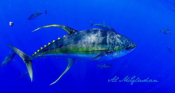 Atum albacora: características, habitat, alimentação 1