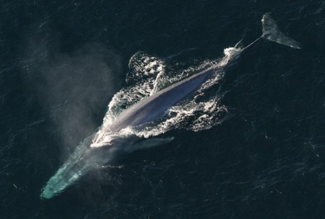 Baleia azul: características, habitat, nutrição, reprodução 1