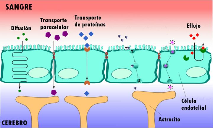 Barreira hematoencefálica: estrutura, funções, doenças 2